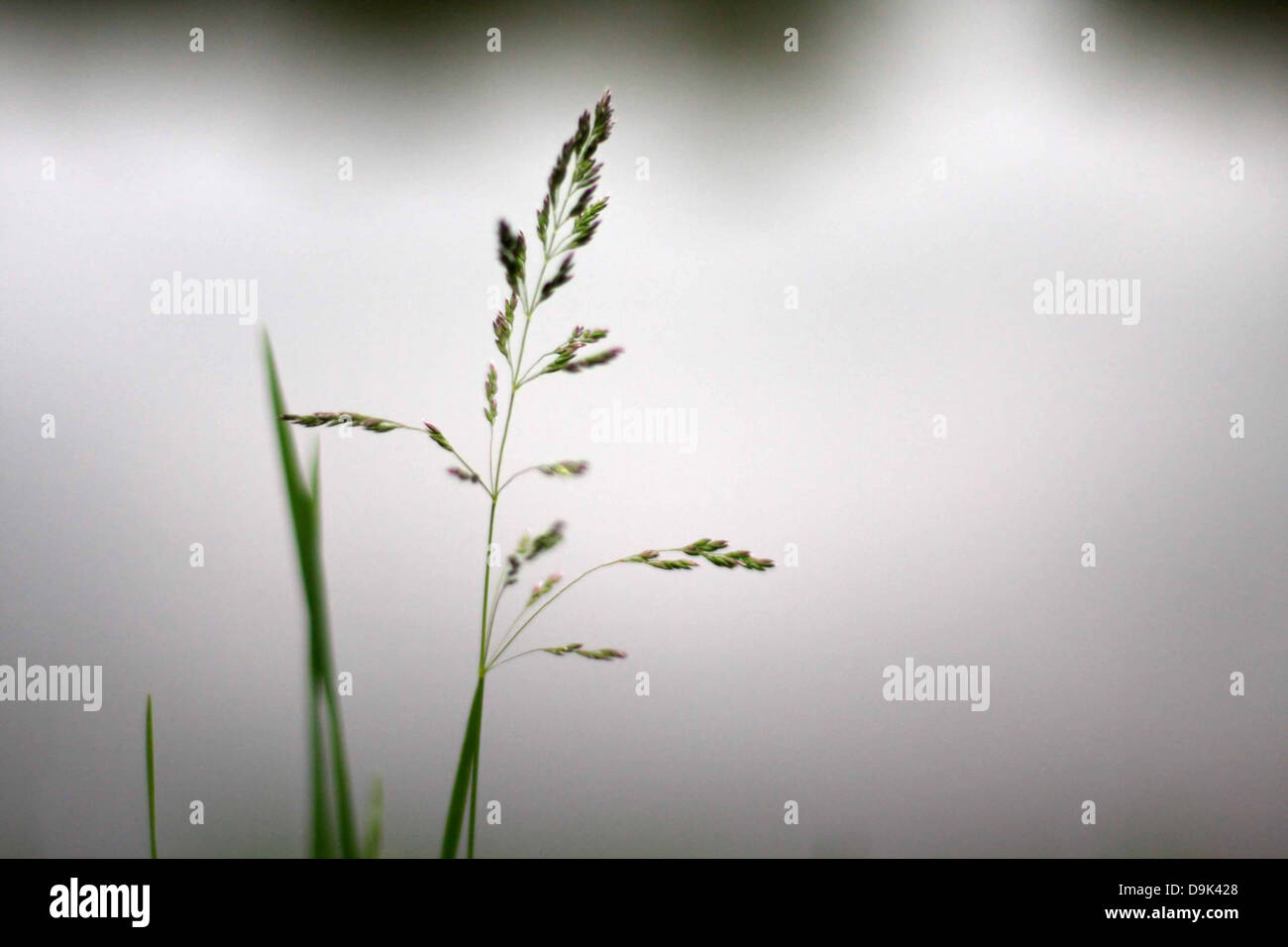grass green blade field bloom farm rural country pond lake horizontal - Stock Image