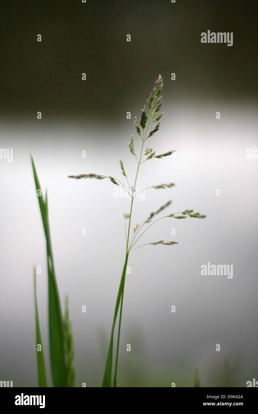 grass green blade field bloom farm rural country pond lake vertical - Stock Image