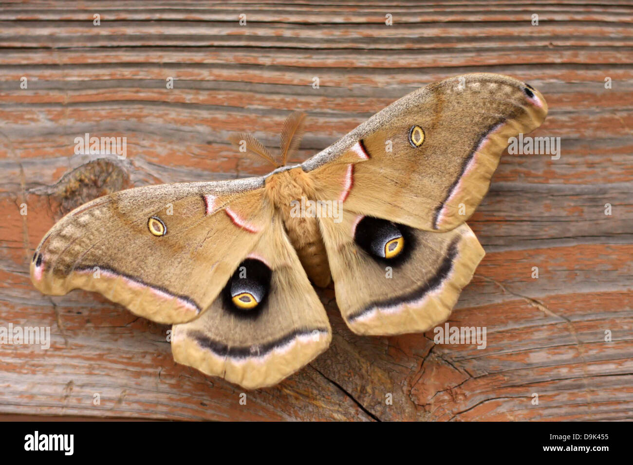 yellow tan black white butterfly, insect, bug, moth on wood - Stock Image