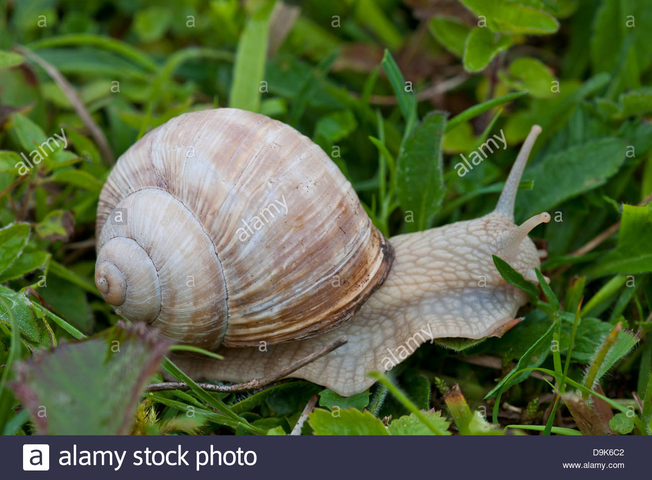 Roman Snail Helix pomatia wild native June meadow field edible Sheepleas Surrey England white chalk grassland - Stock Image
