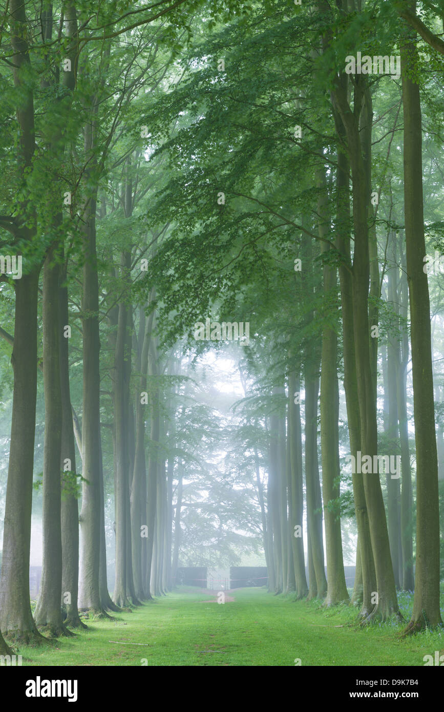 Mature Beech tree avenue, Cotswolds, Gloucestershire, England. Summer (June) 2013. - Stock Image