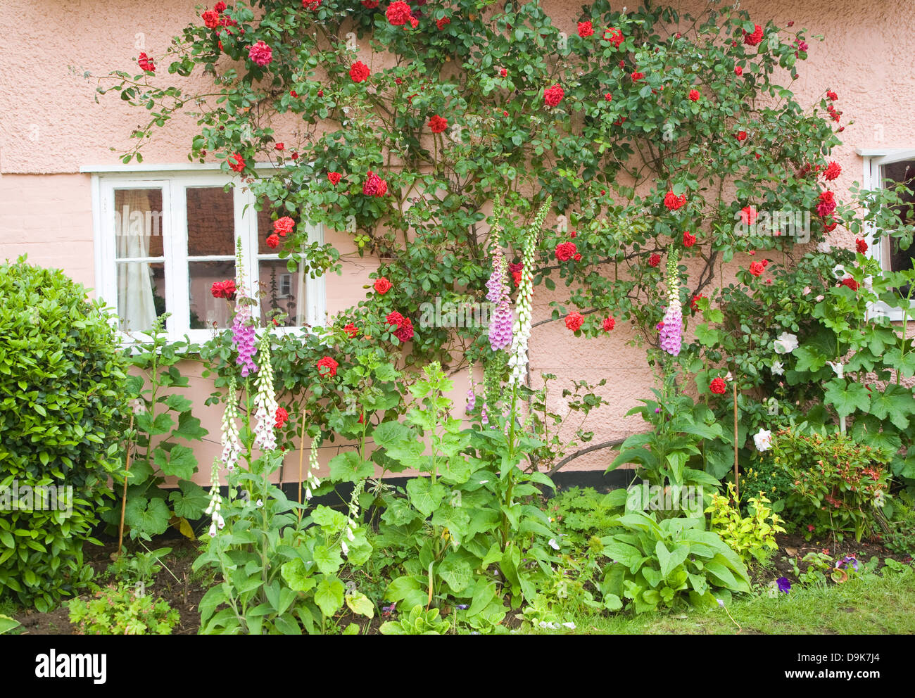 Red rambling roses growing on pink cottage wall, Suffolk, England - Stock Image