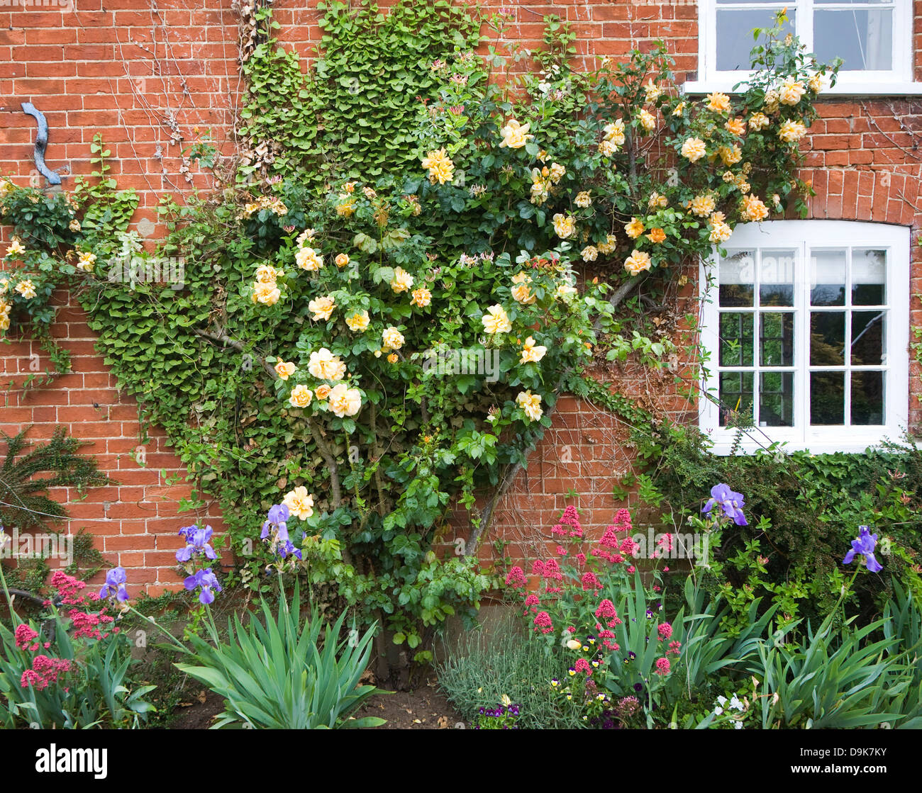 Yellow rambling roses growing on red brick cottage wall, Suffolk, England - Stock Image