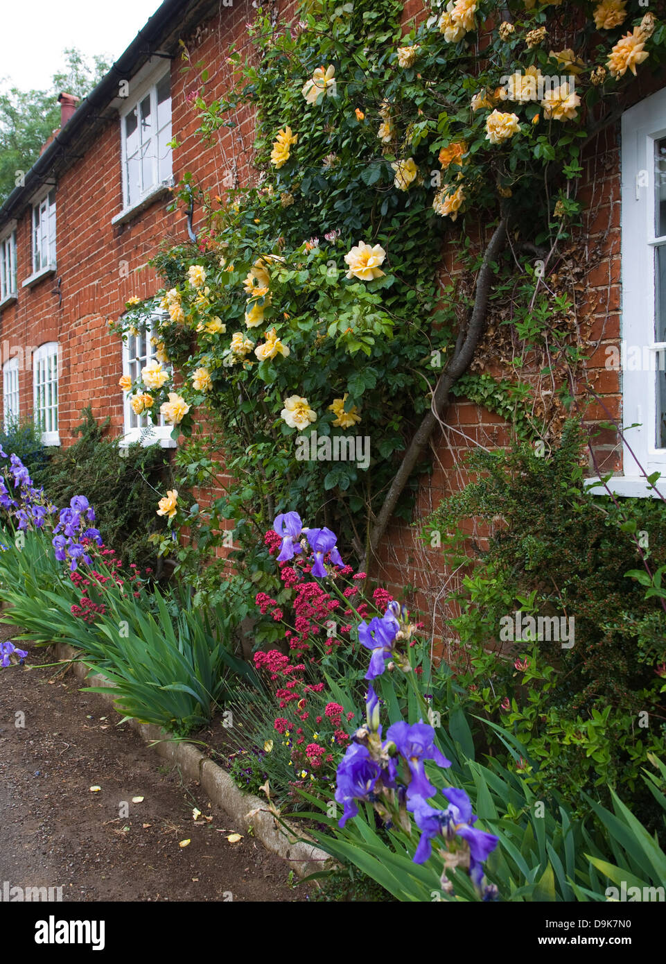 Yellow rambling roses growing on brick cottage wall, Suffolk, England - Stock Image