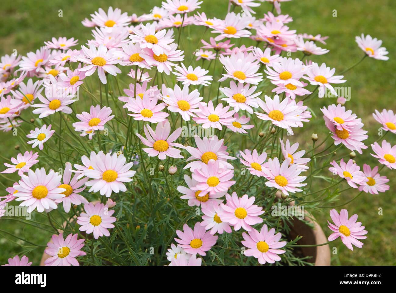 Pink daisy like flower stock photos pink daisy like flower stock argyranthemum pink daisy like flowers stock image izmirmasajfo