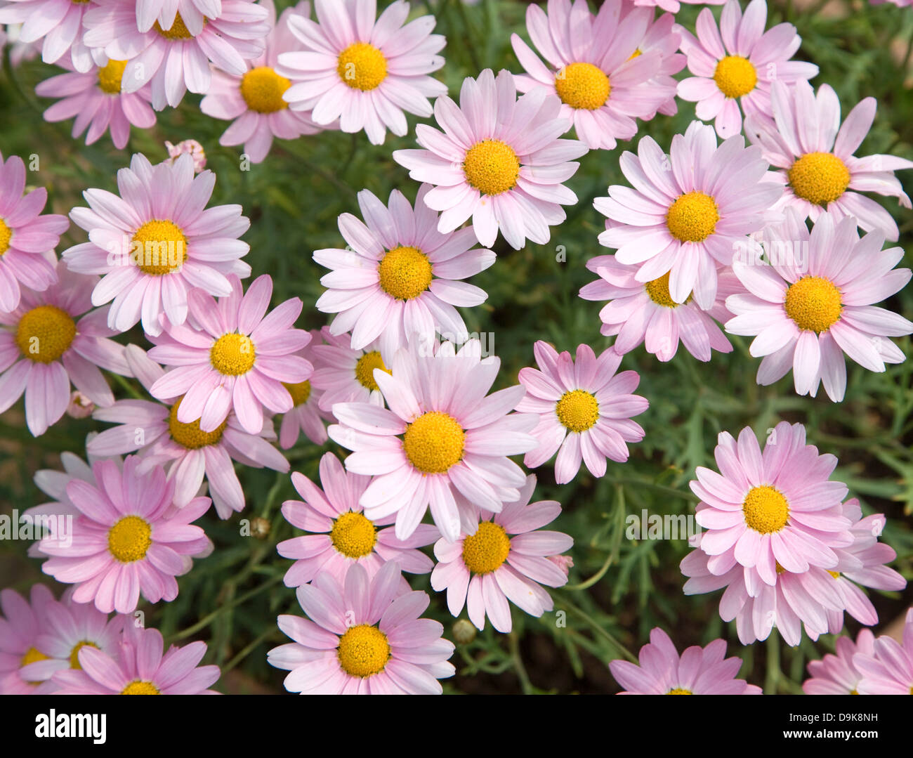Pink daisy like flower stock photos pink daisy like flower stock argyranthemum pink daisy like flowers stock image izmirmasajfo
