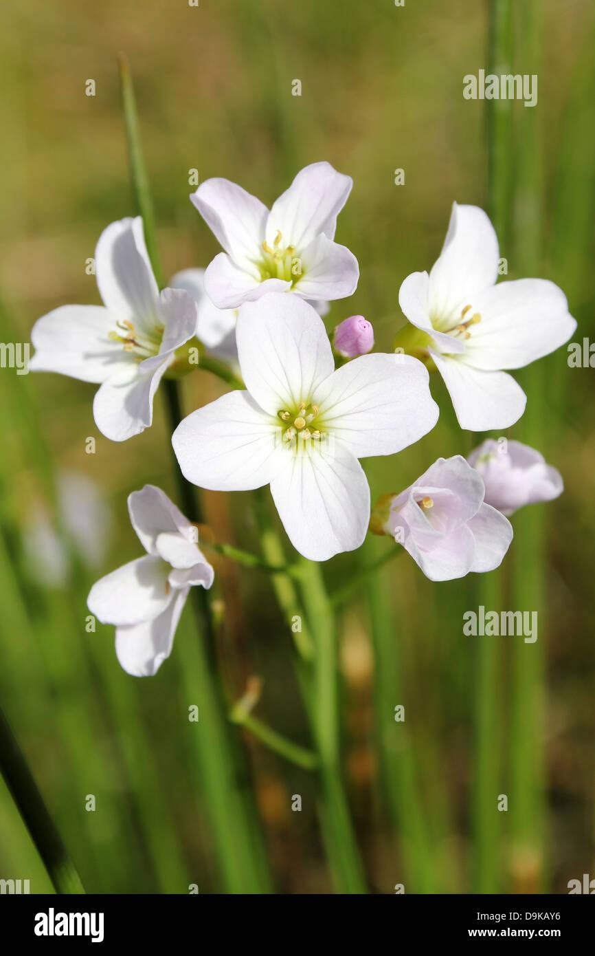 Lady's Smock or Cuckoo Flower Cardamine pratensis Stock Photo