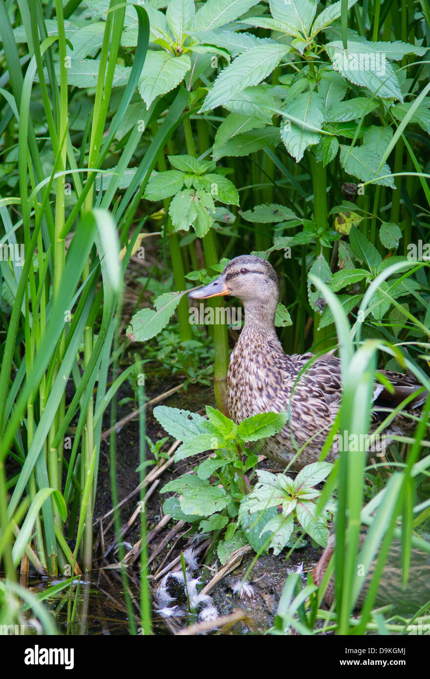Mallard duck female amongst vegetation on the banks of the Cromford canal in Derbyshire UK - Stock Image