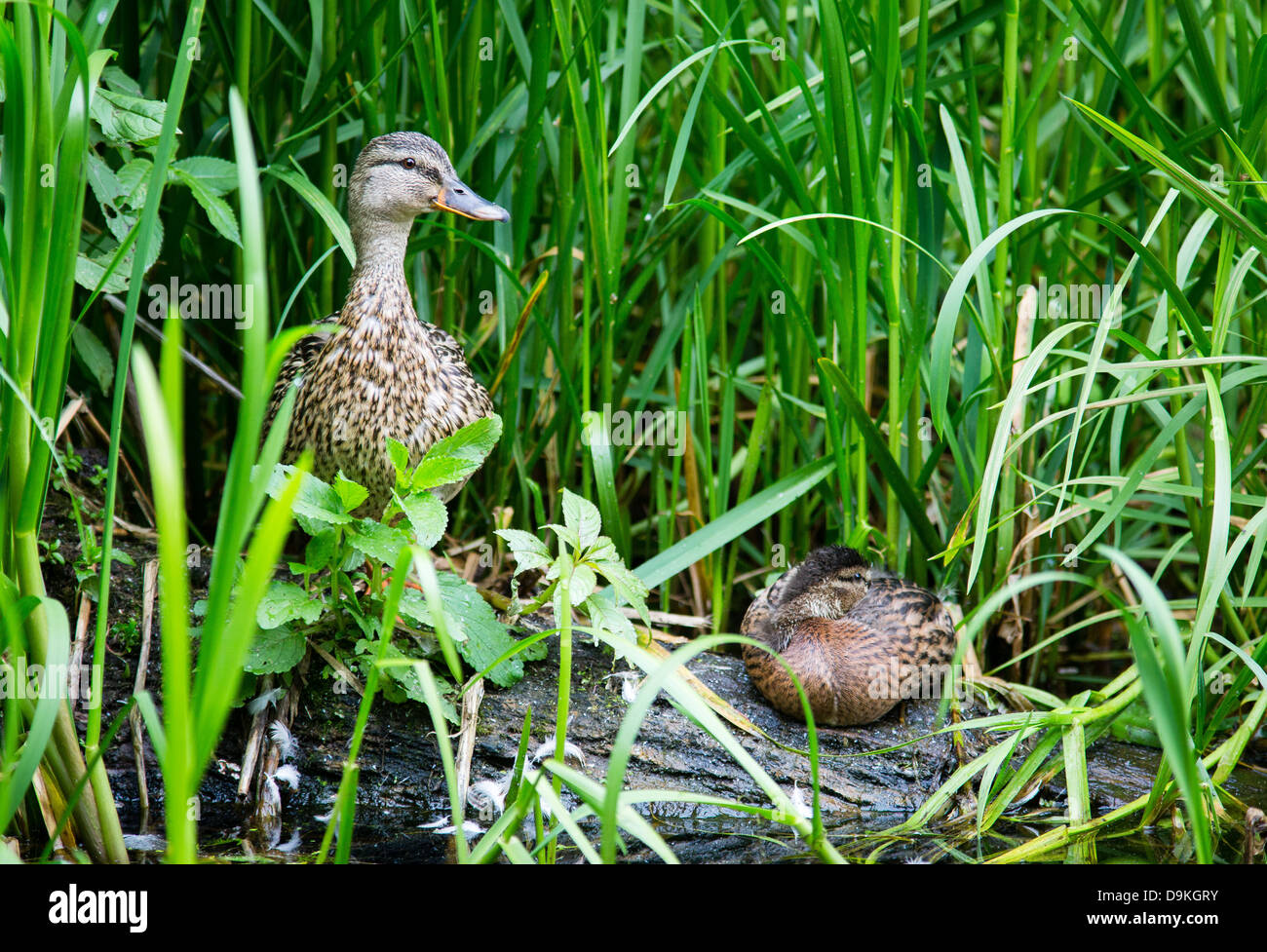 Mallard duck females amongst vegetation on the banks of the Cromford canal in Derbyshire UK - Stock Image