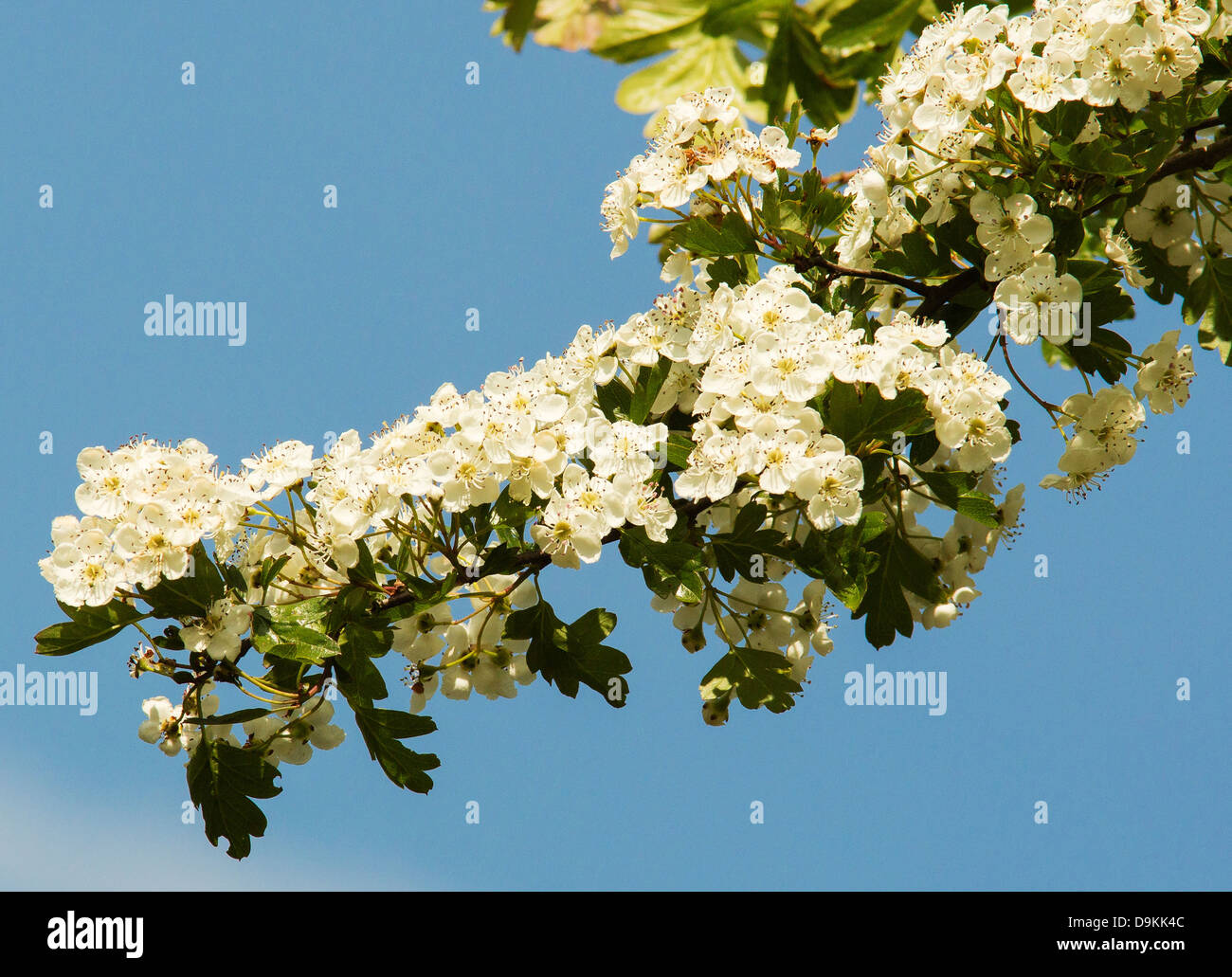 Branch of a Hawthorn tree or Mayblossom in blossom - Stock Image