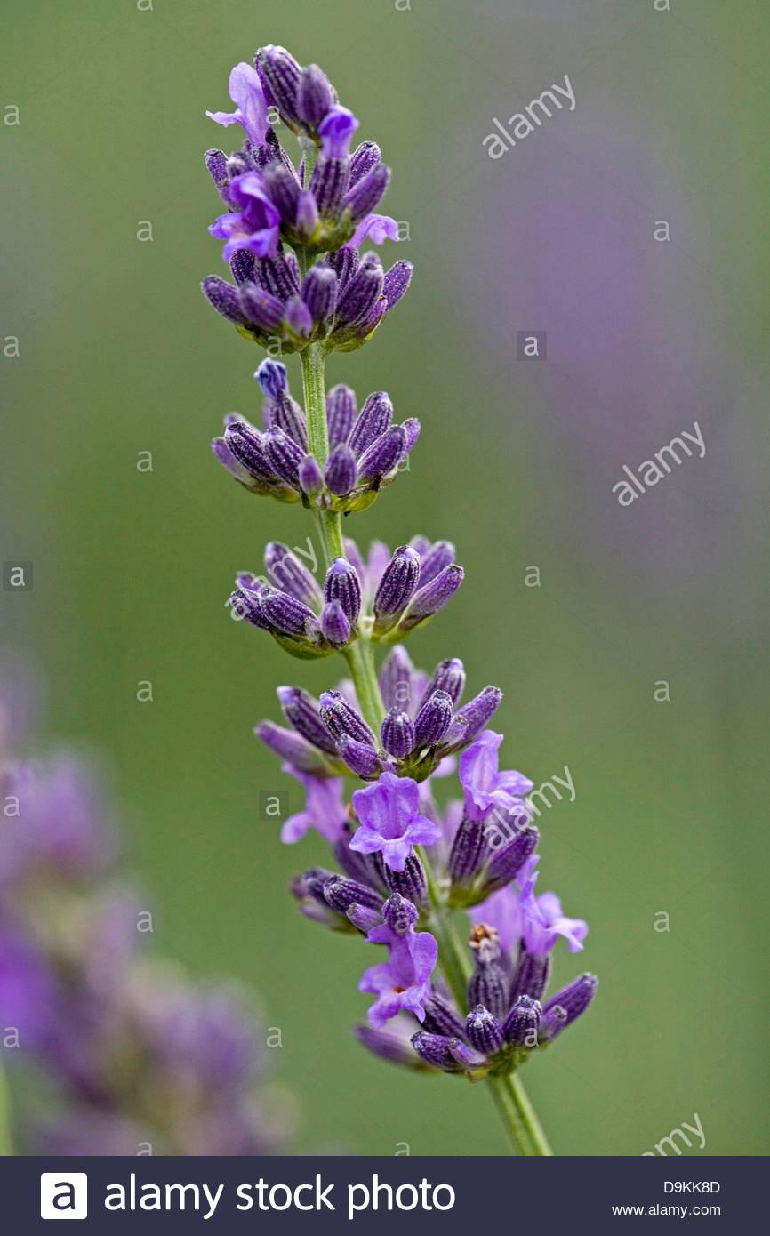 impress purple lavender - Stock Image