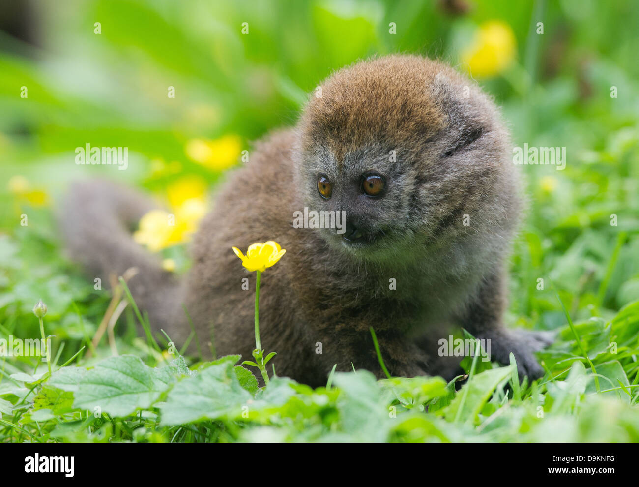 A young Alaotran Gentle Lemur (Hapalemur griseus alaotrensis) - Stock Image