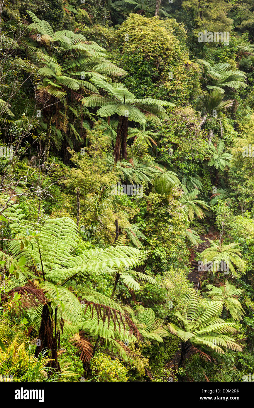 New Zealand native bush, Waitakere Ranges, Auckland Region. Includes tree fern. - Stock Image