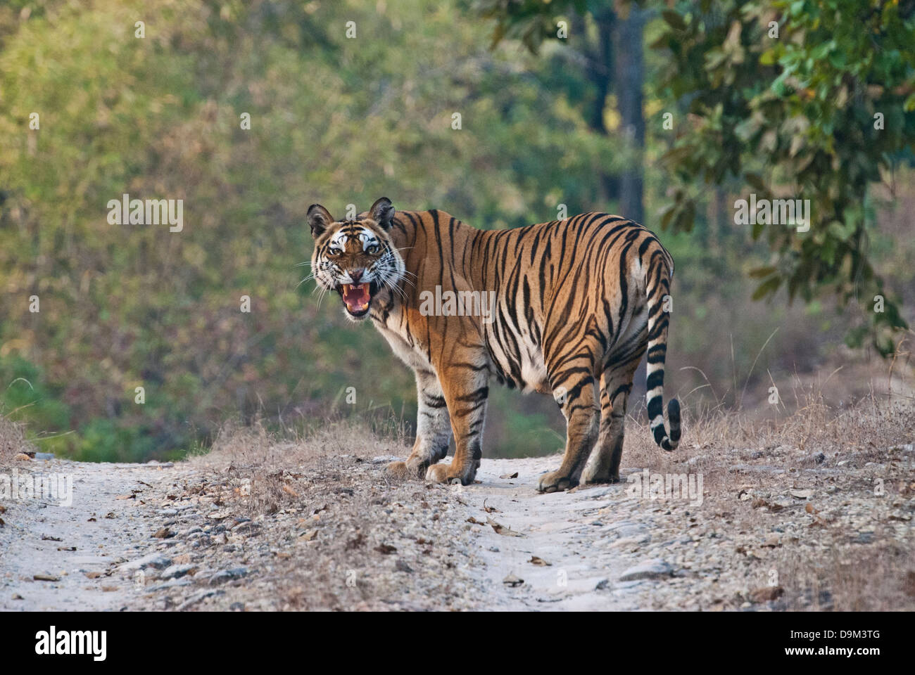 Bengal tiger snarling on road in Bandhavgarh National Park, India - Stock Image