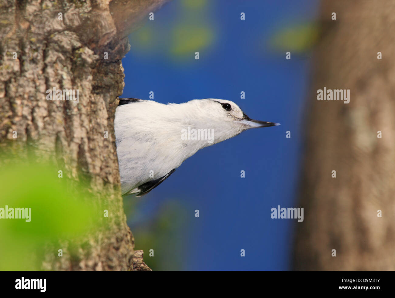 A Very Cute And Tiny Bird Stretching It's Neck High Up In A Tree, The White Breasted Nuthatch, Sitta carolinensis - Stock Image