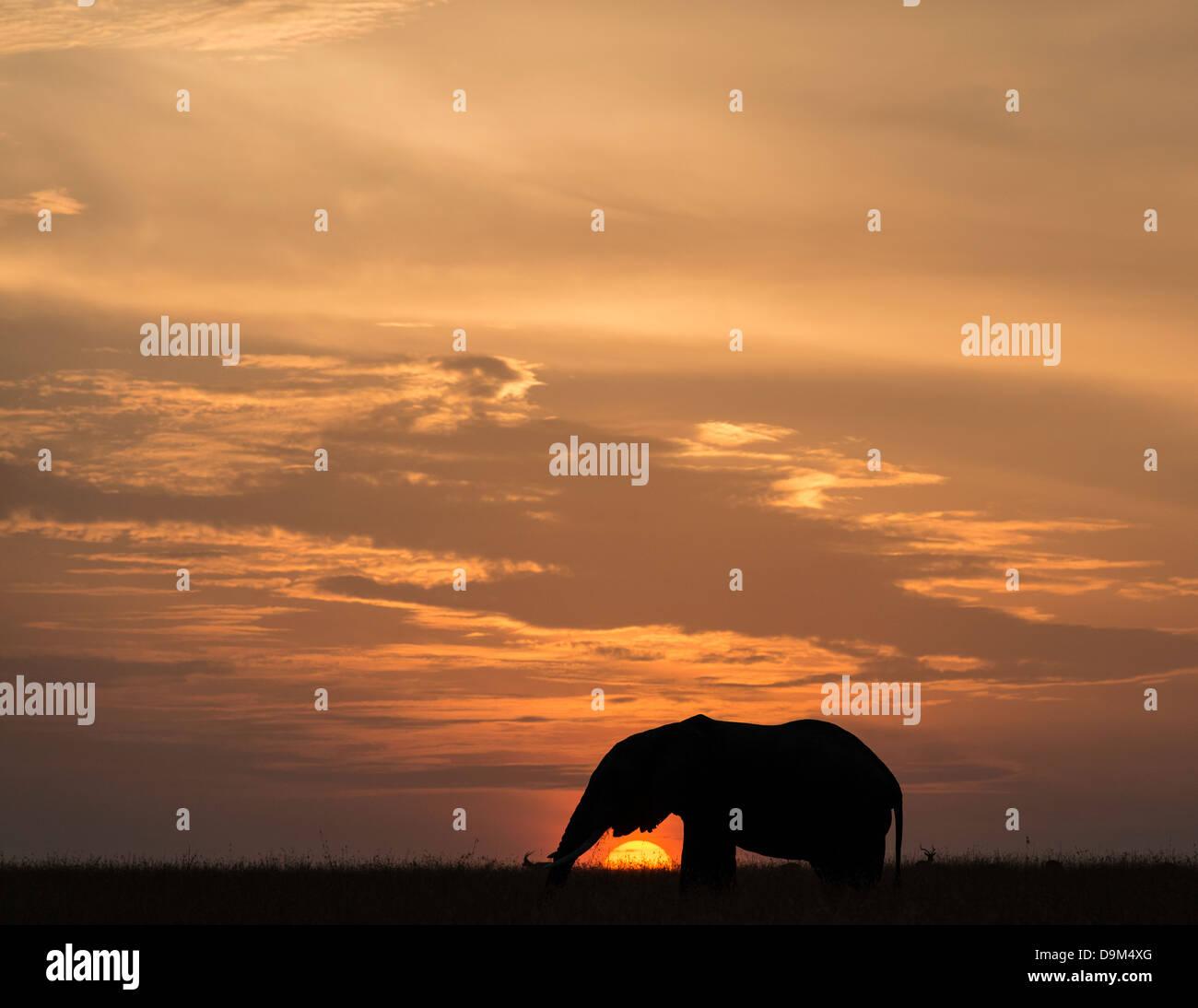 Big adult bull elephant at sunset Kenya Africa - Stock Image