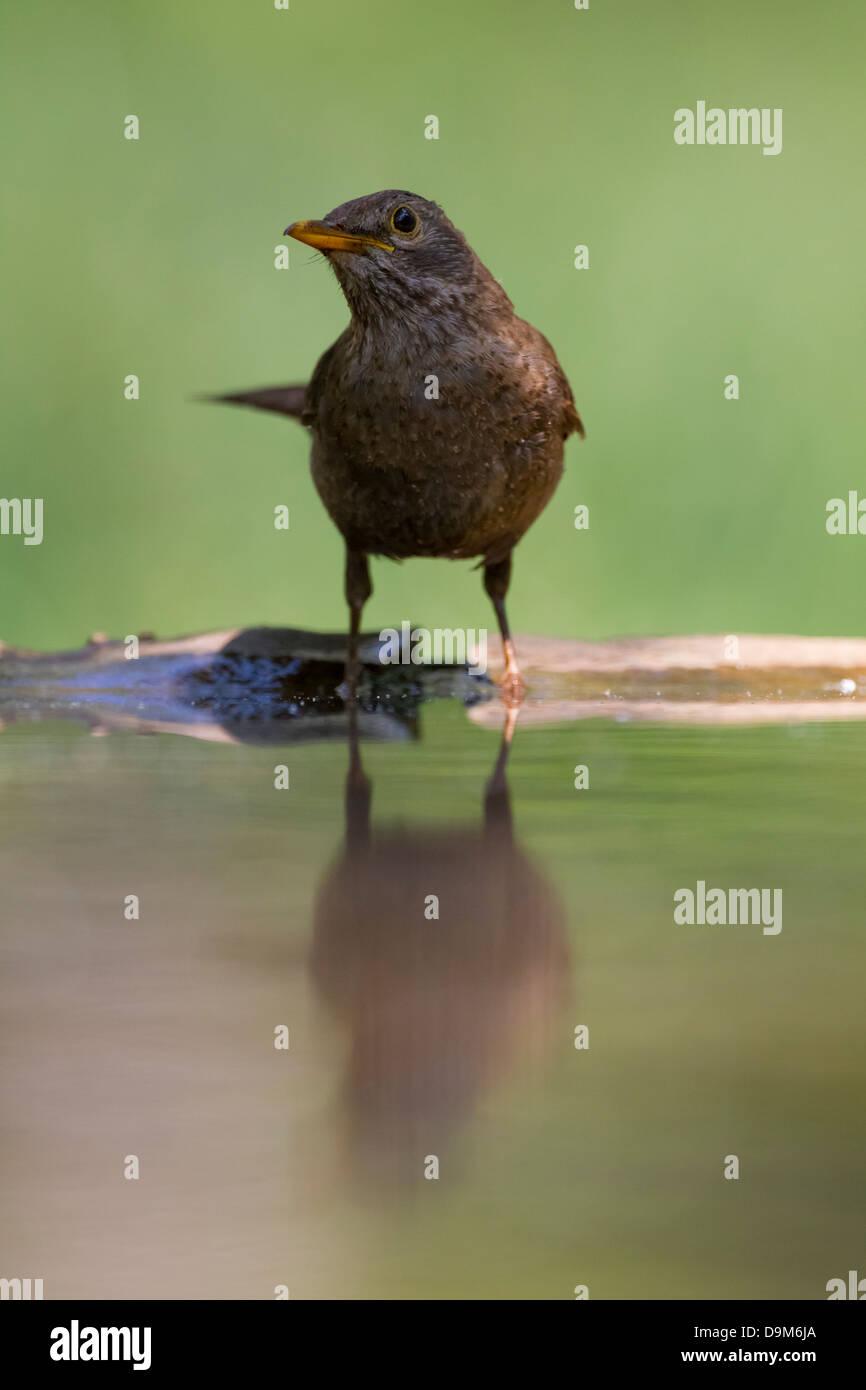 Common blackbird Turdus merula, female sidelit at drinking pool near Pusztaszer, Hungary in June. - Stock Image