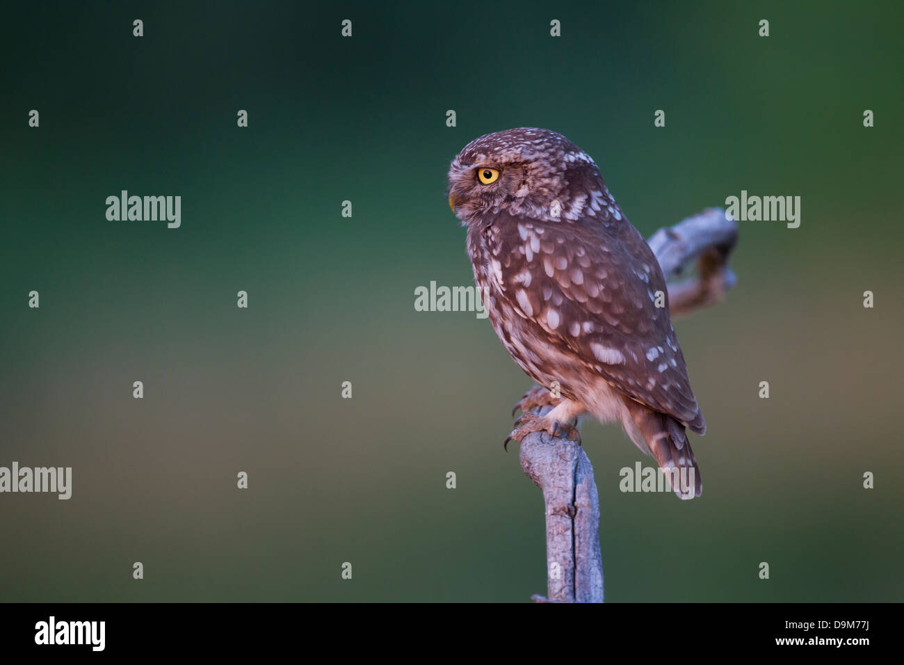 Little owl Athene noctua, adult, perched on branch, Pusztaszer, Hungary in June. - Stock Image