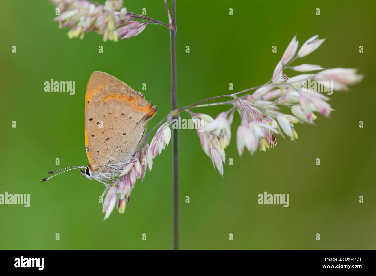 Small Copper Lycaena phlaeas caeruleopunctata perched on Yorkshire Fog at Tank Quarry, Malvern Hills in August. - Stock Image