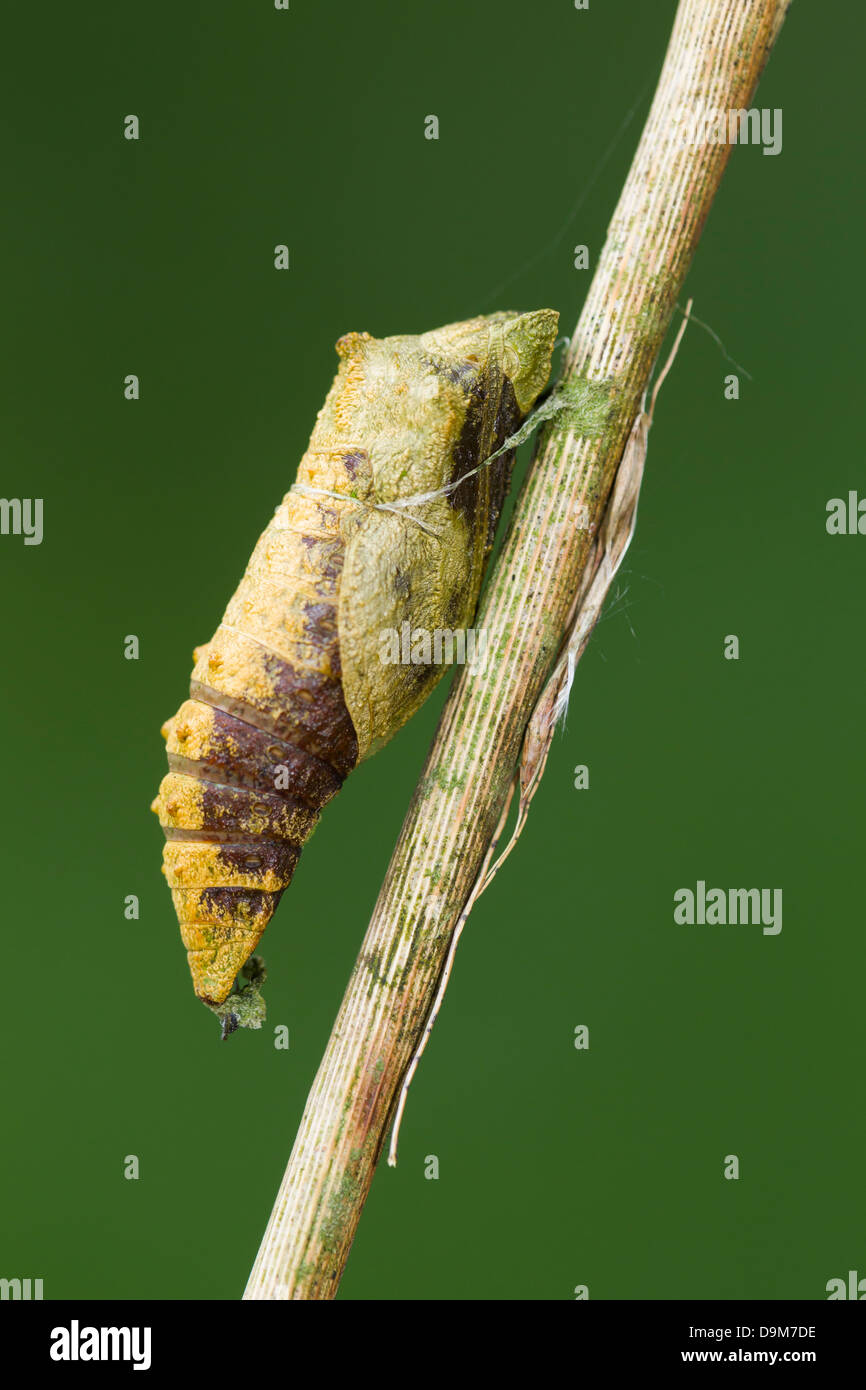 Swallowtail Papilio machaon, parasitised chrysalis on Milk Parsley stem, Wheatfen, Norfolk, UK in June. Stock Photo