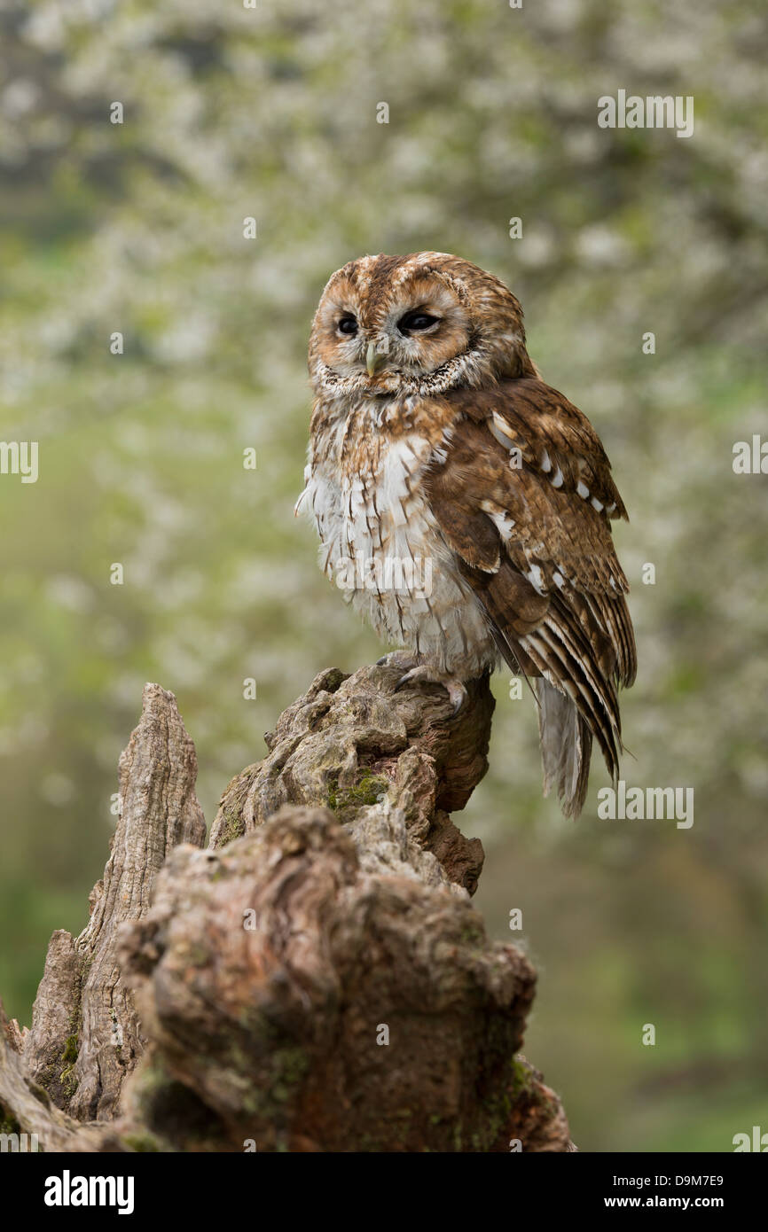 Tawny owl Strix aluco (captive), adult, perched on tree stump with background blossom, Castle Caereinion, Wales, - Stock Image