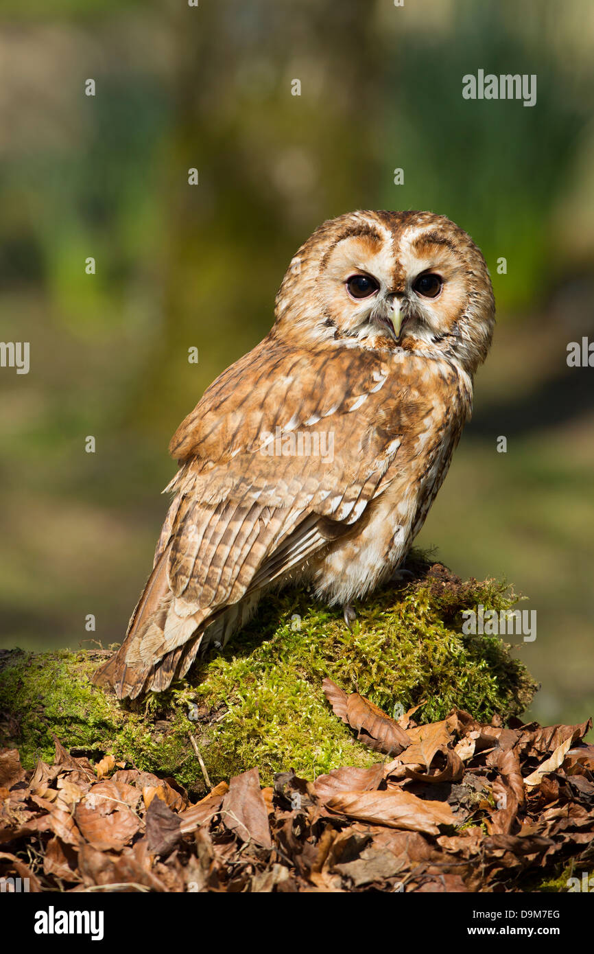 Tawny Owl Strix aluco (captive), adult male, perched on mossy log, Hawk Conservancy Trust, Hampshire, UK in April. - Stock Image