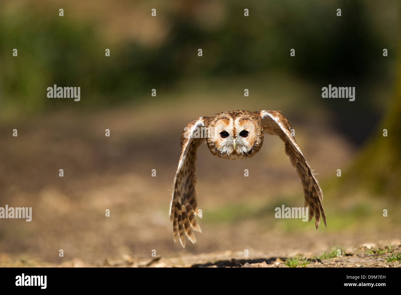 Tawny Owl Strix aluco (captive), adult male, in flight through woodland, Hawk Conservancy Trust, Hampshire, UK in - Stock Image