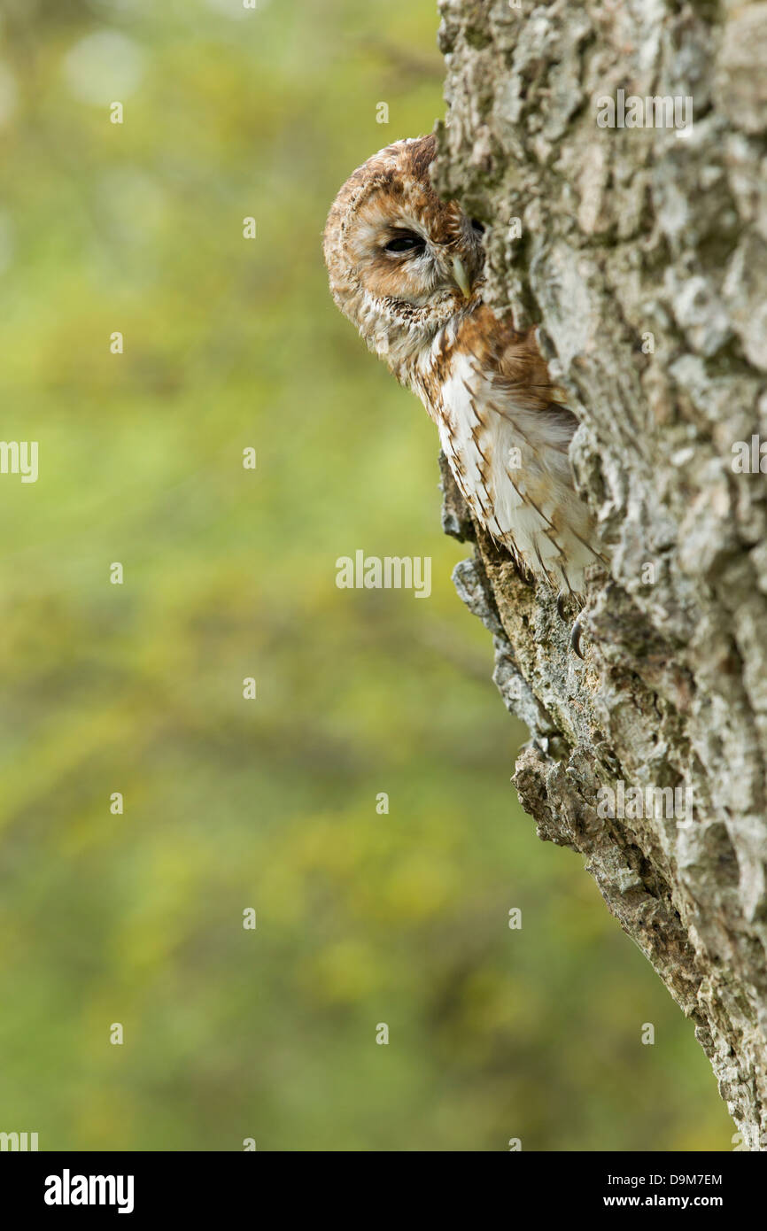 Tawny owl Strix aluco (captive), adult, perched in tree hole, Castle Caereinion, Wales, UK in May. - Stock Image