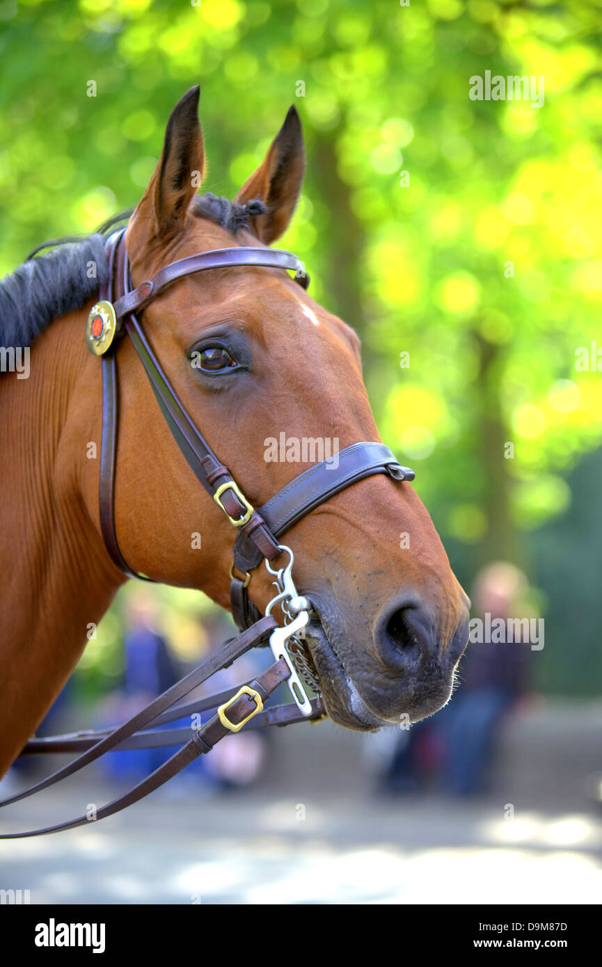 Portrait of chestnut horse. - Stock Image