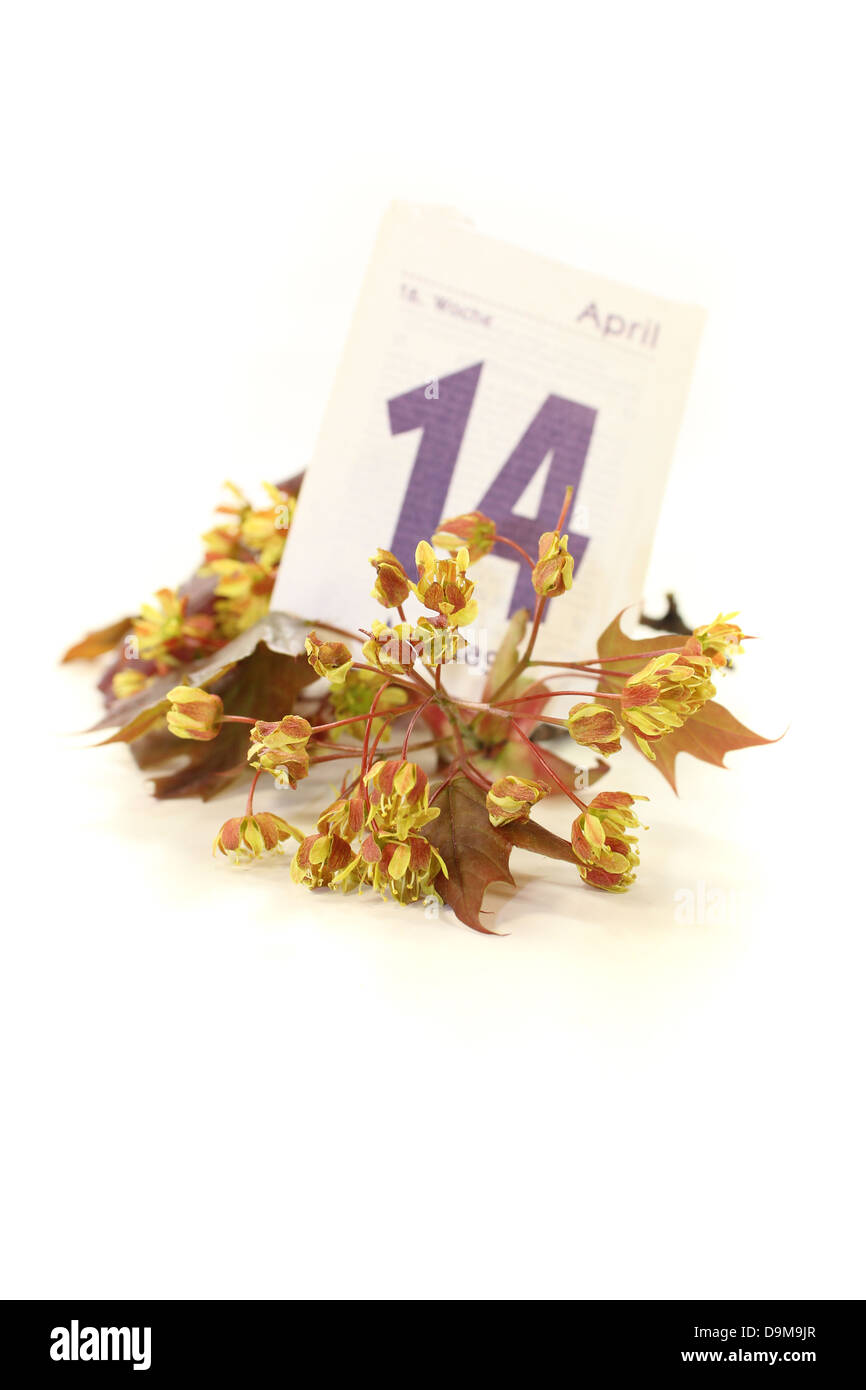 Maple blossoms with calendar sheet on a light background - Stock Image