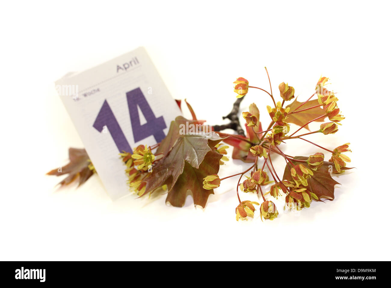 beautiful Maple blossoms with calendar sheet on a light background - Stock Image