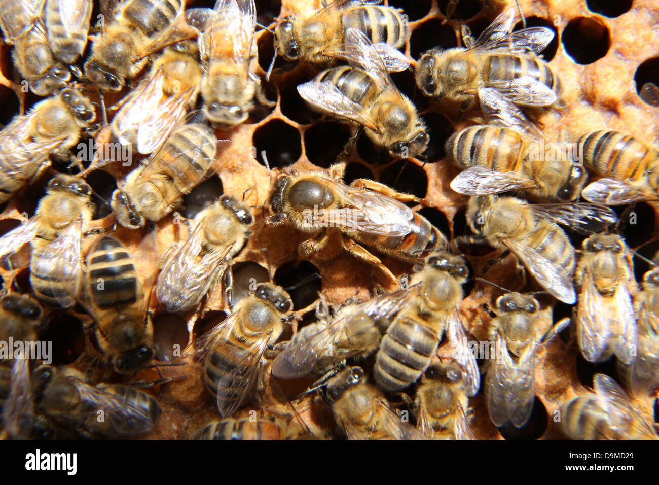 Queen Bee Surrounded by Workers on Frame From Hive - Stock Image