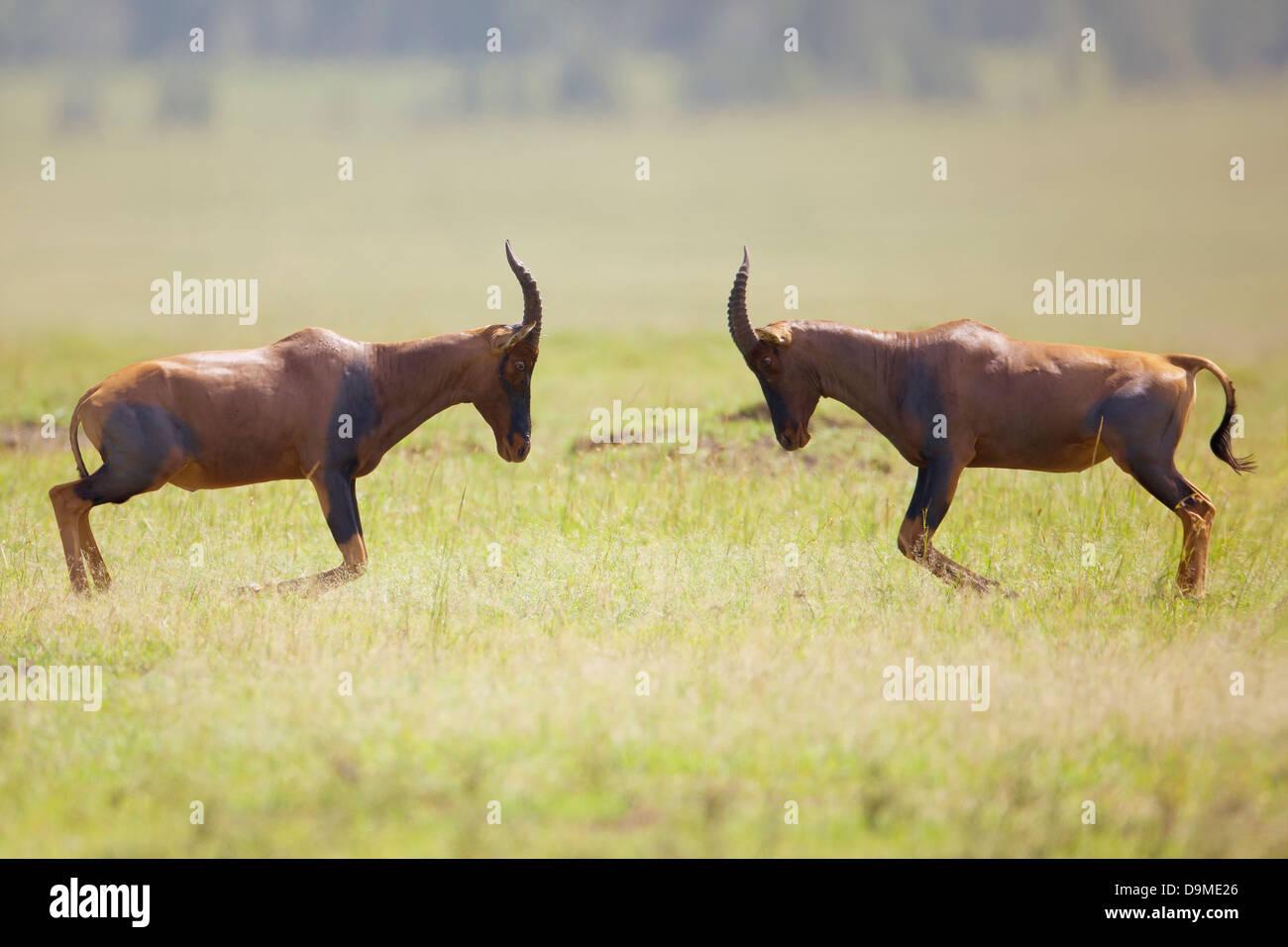 Topis fighting, Masai Mara,Kenya - Stock Image