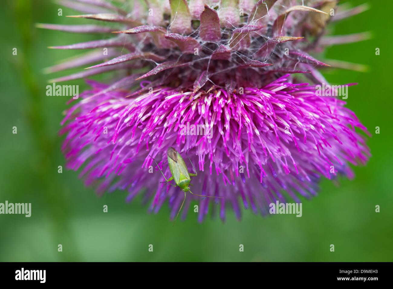Common Green Capsid Lygocoris pabulinus bug on a Musk Thistle Carduus nutans flower - Stock Image