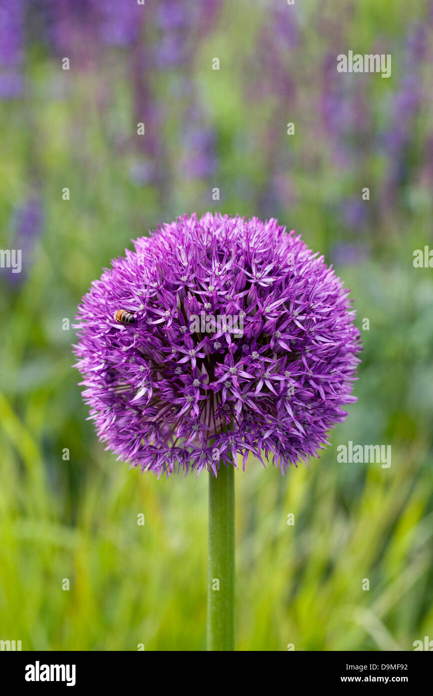 Allium 'Globemaster' in the flower border. - Stock Image