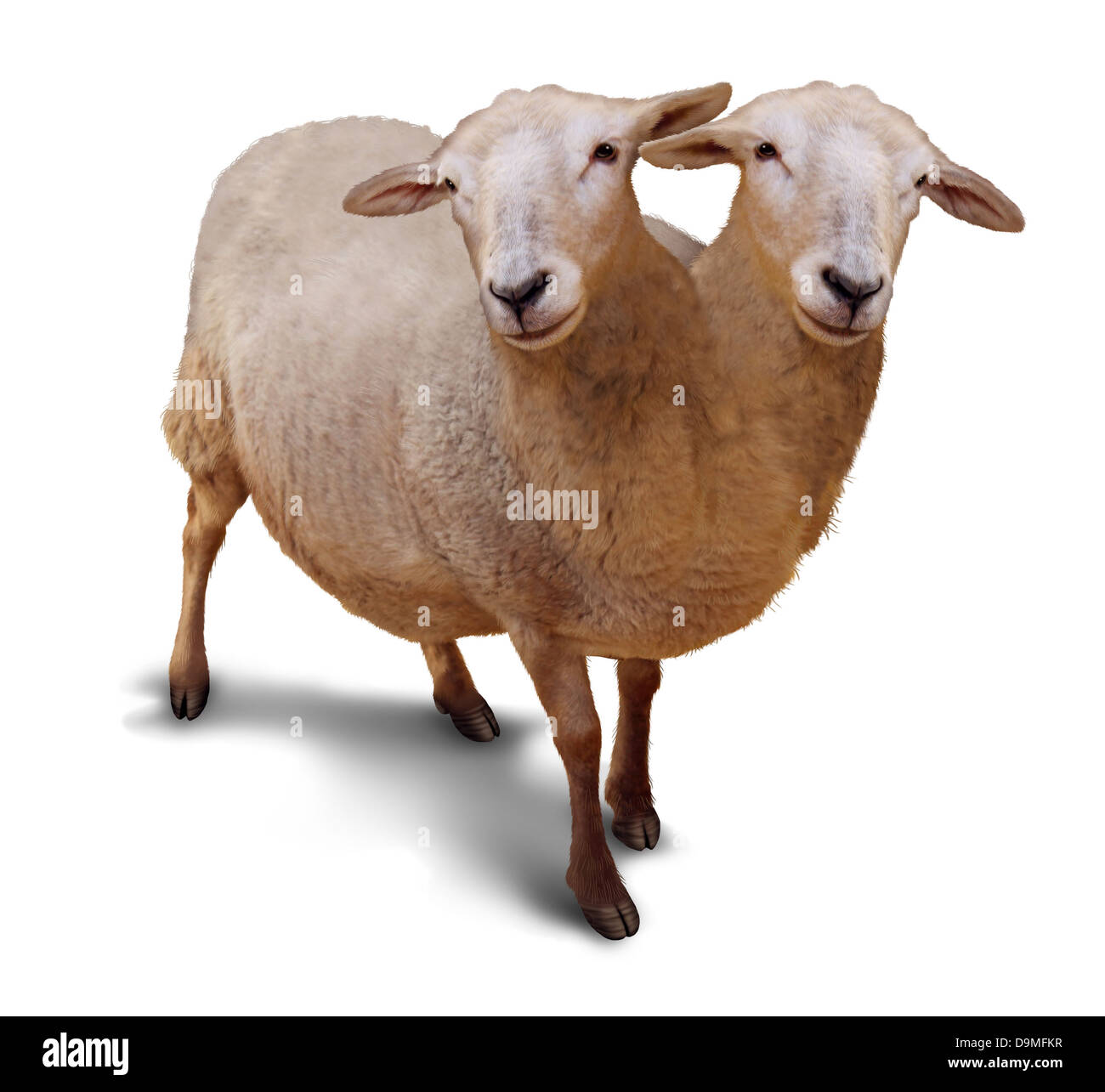 Genetic disorder and abnormality in biological DNA sequence with a farm sheep as a conjoined twin joined together - Stock Image
