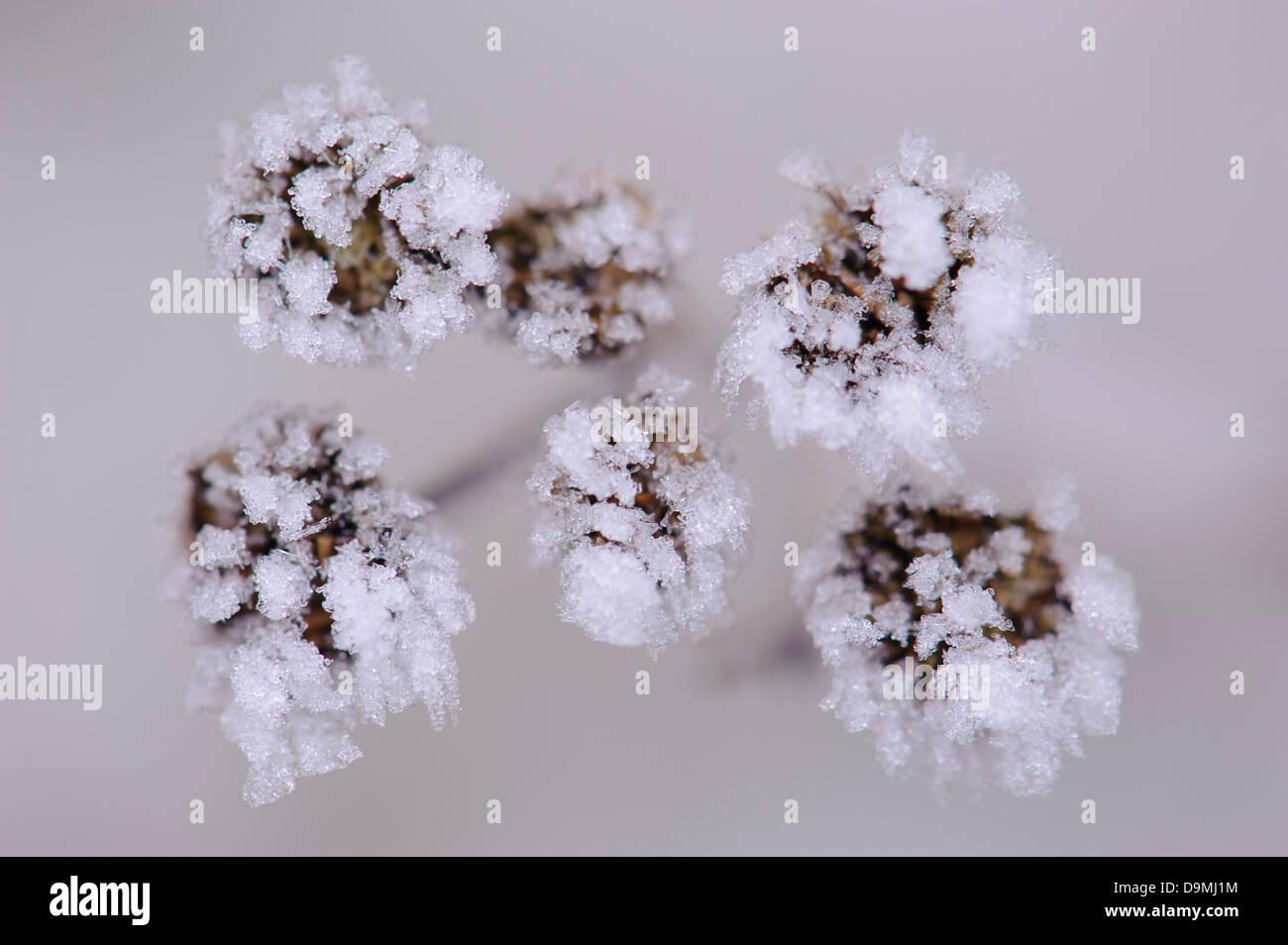 Ice ice-crystals form margin fern Syn.: Chrysanthemum vulgare Tanacetum vulgare water winter - Stock Image