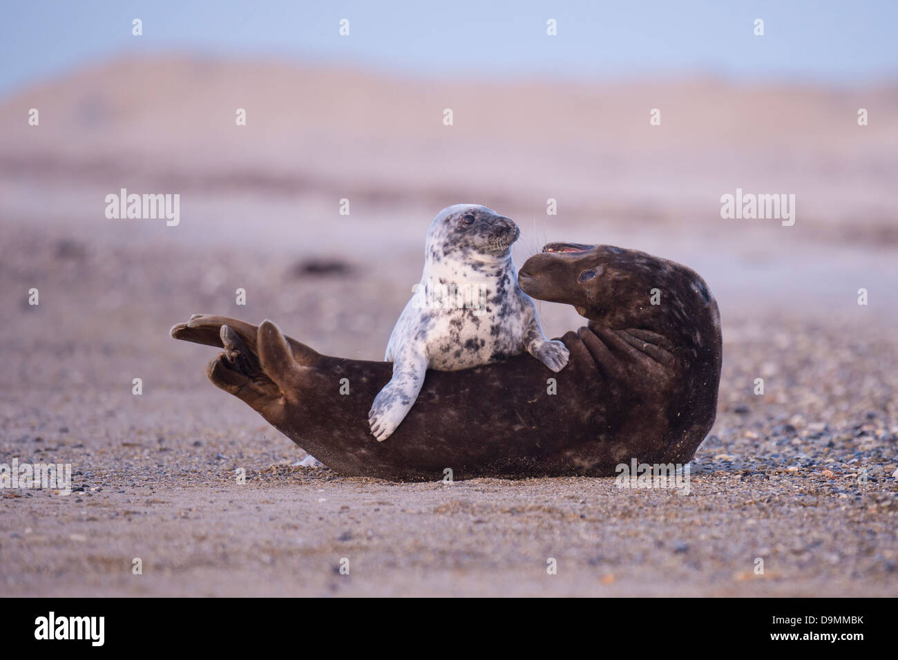 Halichoerus grypus interaction cone seal seal sow's creatures grey seal playing - Stock Image