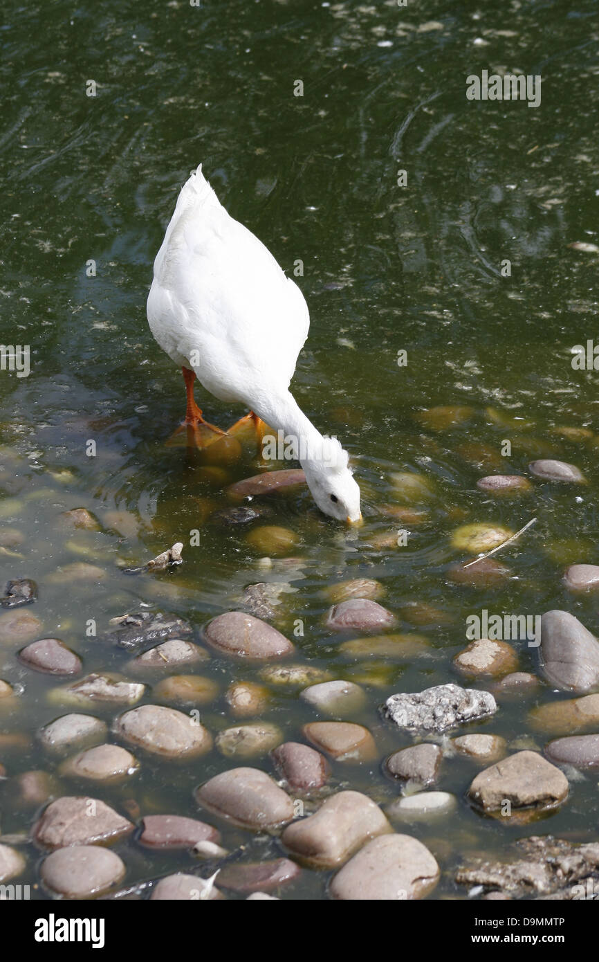 White Crested Duck rooting for food Anas platyrhynchos domesticus - Stock Image