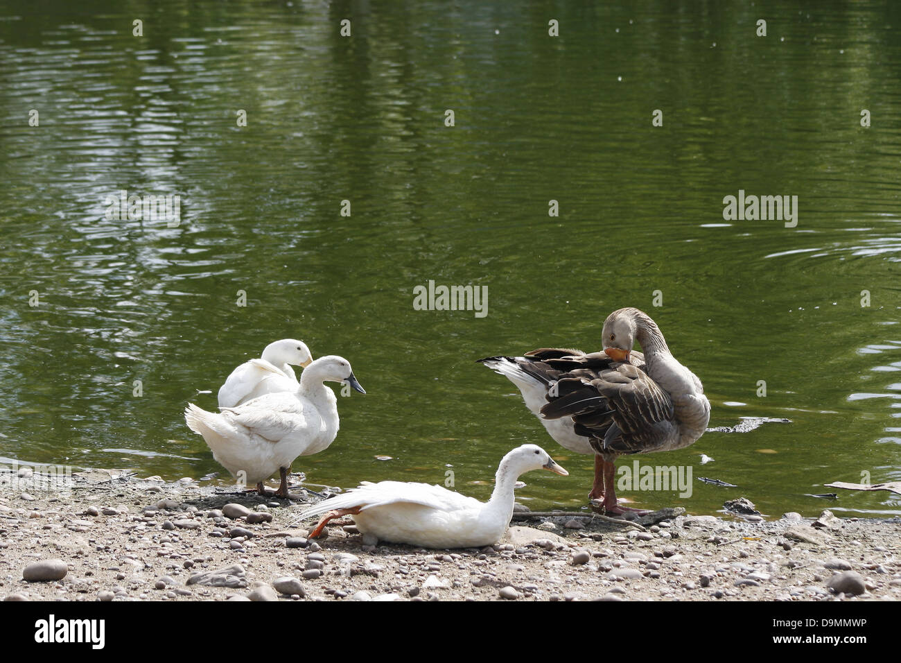 white ducks and Grey lag goose Anas platyrhynchos domesticus Anser anser - Stock Image