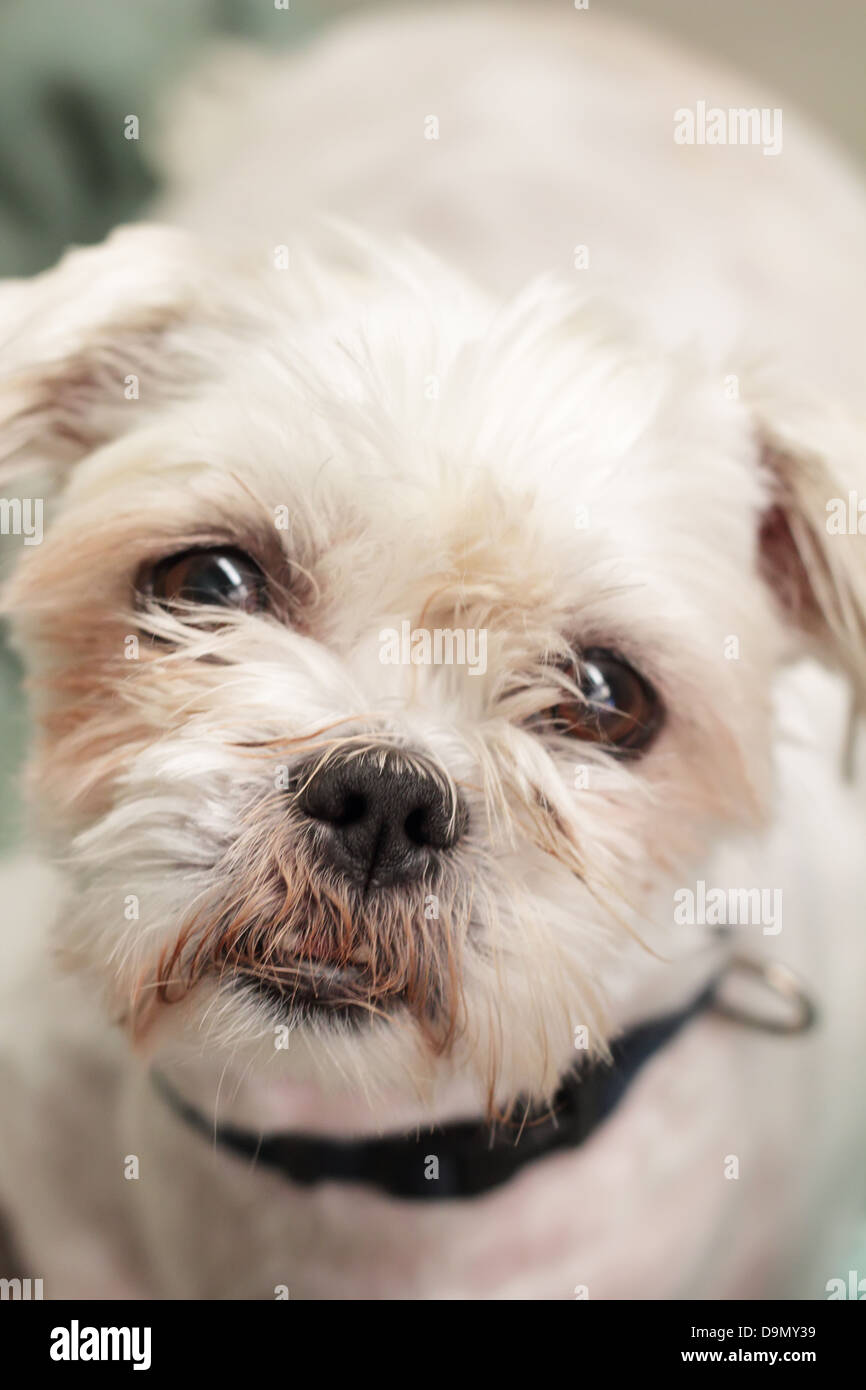 Staring Daring Cute Maltese Terrier with Deformed Mouth - Stock Image