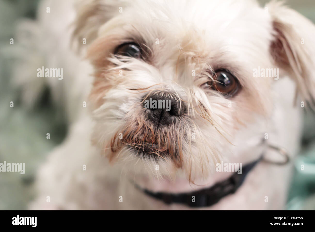 Cute Maltese Terrier Mix - Stock Image