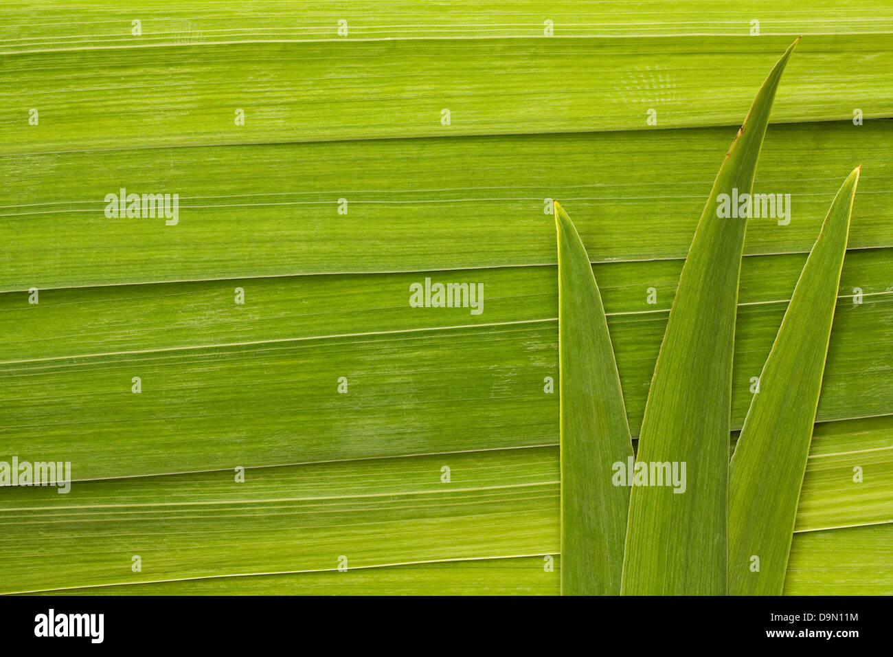 Long palm leaf detail background great symbol for tropical forests or travel to the tropics - Stock Image