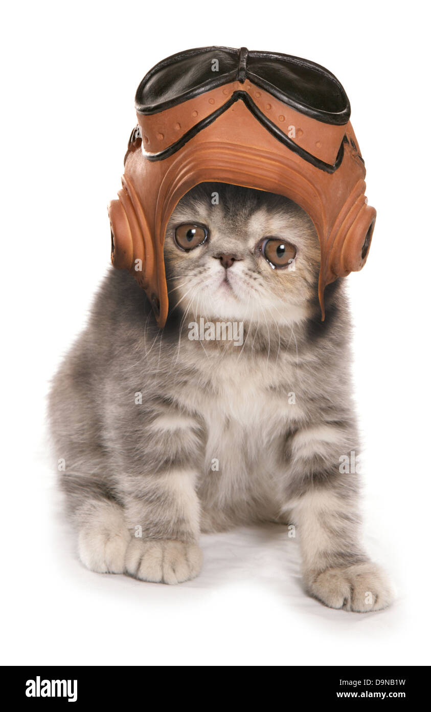 Silver Tabby exotic shorthair kitten wearing vintage raf helmet and goggles - Stock Image
