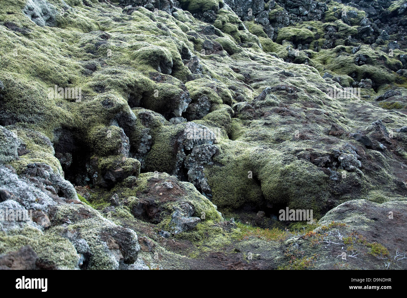 Moss covers and clings to lava rocks in Iceland's bleak volcanic landscape - Stock Image