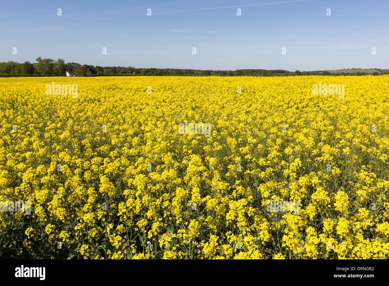 Rapeseed field yellow flower blue sky farmers field crop stock yellow flower blue sky farmers field crop northamptonshire summer summertime mightylinksfo