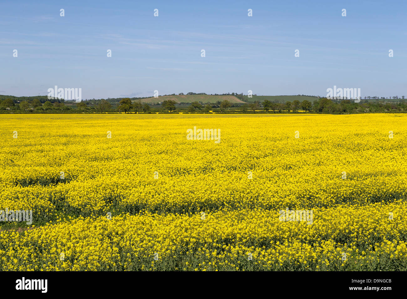 Farmers field yellow flower stock photos farmers field yellow yellow flower blue sky farmers field crop northamptonshire summer mightylinksfo