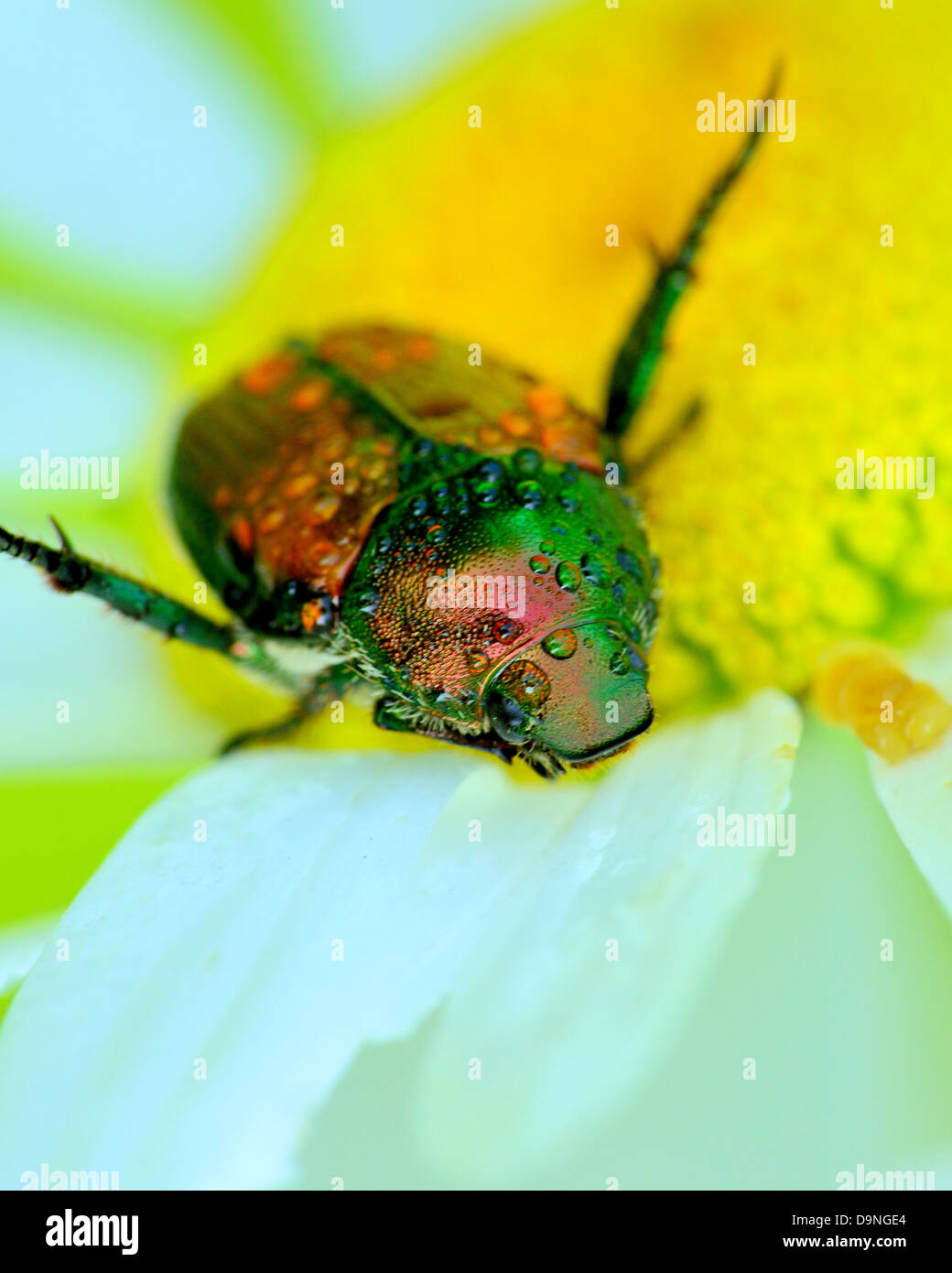 A Japanese Beetle perched on a flower closeup head shot. - Stock Image