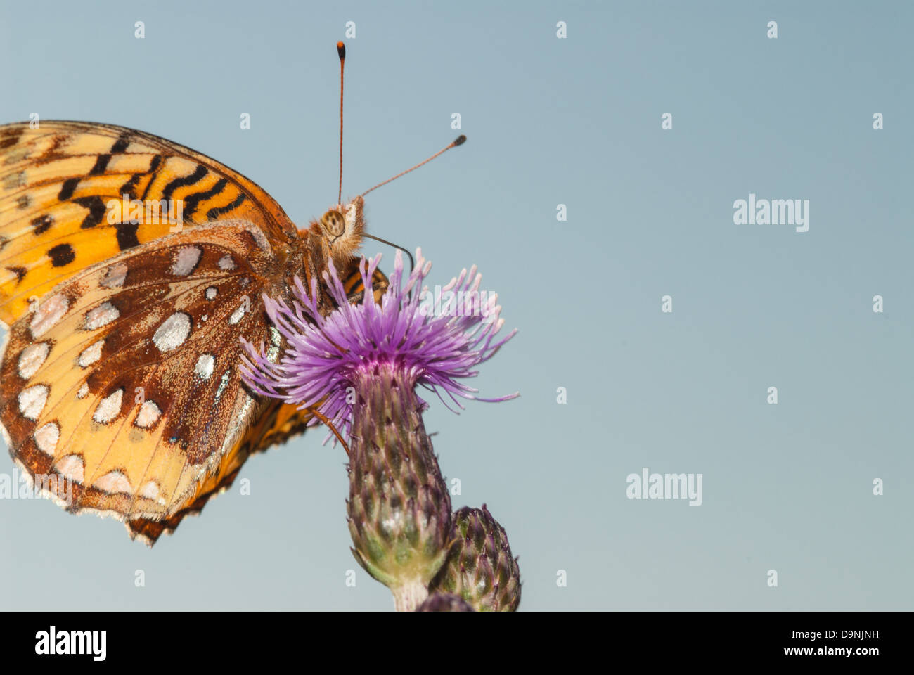 Underside of a northwestern fritillary butterfly (Speyeria hesperis) feeding from a Canada thistle bloom, Wagner - Stock Image