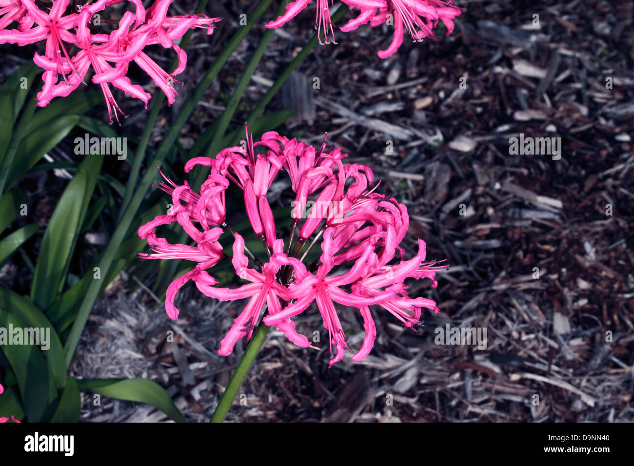 Close-up of Pink Nerina/Pink Nerine/Guernsey Lily-Nerine sarniensis-Family Amaryllidaceae - Stock Image